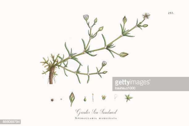 ilustrações, clipart, desenhos animados e ícones de maior mar sandwort, spergularia marginata, ilustração botânica vitoriana, 1863 - chickweed