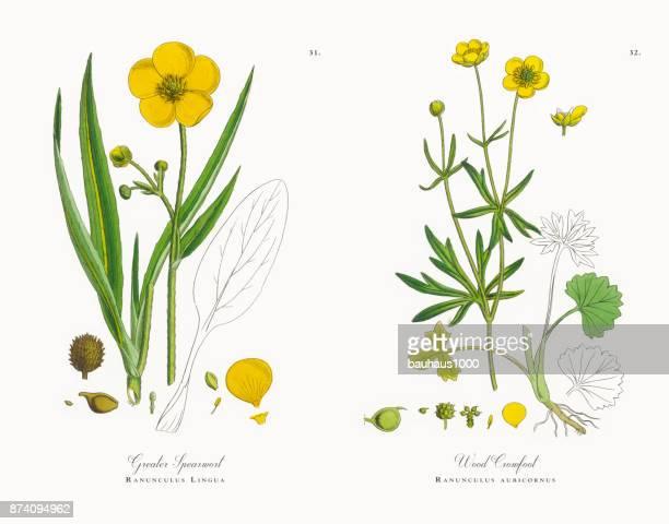Une plus grande Illustration chaisiers, Ranunculus Lingua, victorien botanique, 1863