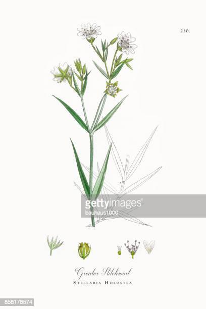 ilustrações, clipart, desenhos animados e ícones de maior stitchwort, stellaria holostea, ilustração botânica vitoriana, 1863 - chickweed