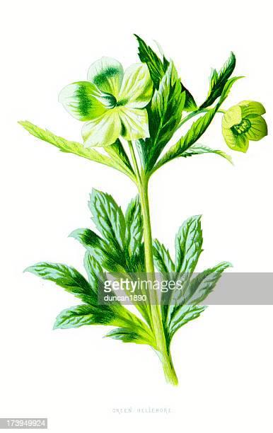 グリーンレンテンローズ-helleborus viridis - カリフォルニアバイケイソウ点のイラスト素材/クリップアート素材/マンガ素材/アイコン素材