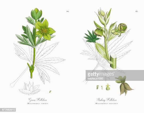 グリーン ヘレボルス、系ネザサ、ビクトリア朝の植物図 1863 - ヘレボルス点のイラスト素材/クリップアート素材/マンガ素材/アイコン素材