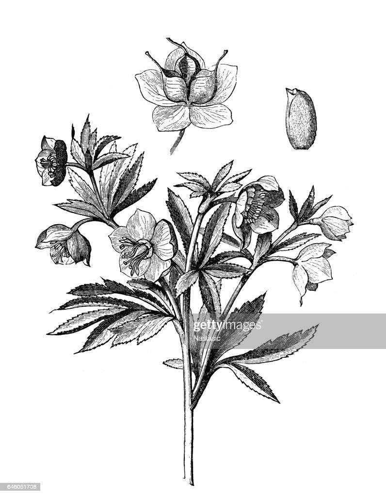 Green hellebore (Helleborus viridis) : stock illustration