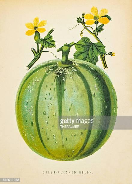 Green Melon illustration 1874
