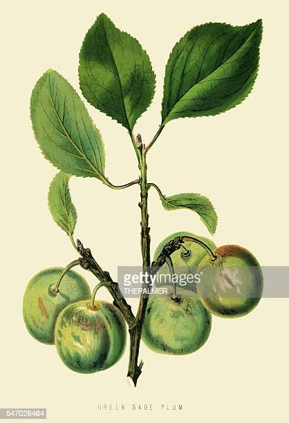 Green plum illustration 1874