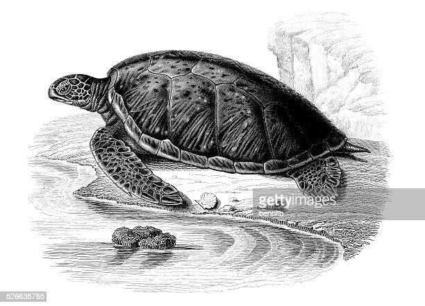 green sea turtle - sea turtle stock illustrations