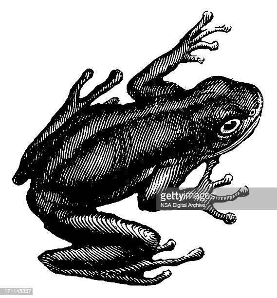 Green tree frog | Antique Animal Illustrations
