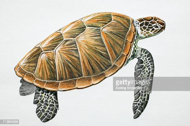 green turtle, chelonia mydas, side view. - sea turtle stock illustrations