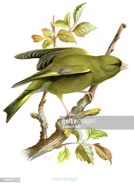 greenfinch - carduelis chloris - lithograph stock illustrations
