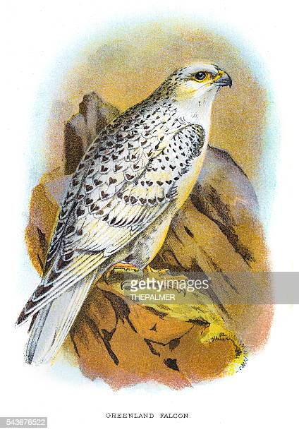 greenland falcon engraving 1896 - falconry stock illustrations