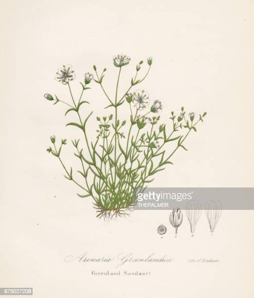 greenland sandwort botanical engraving 1843 - sandwort stock illustrations, clip art, cartoons, & icons