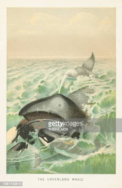 greenland whale and orcas chromolithograph 1896 - blue whale stock illustrations, clip art, cartoons, & icons