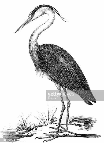 grey heron (ardea cinerea) - water bird stock illustrations