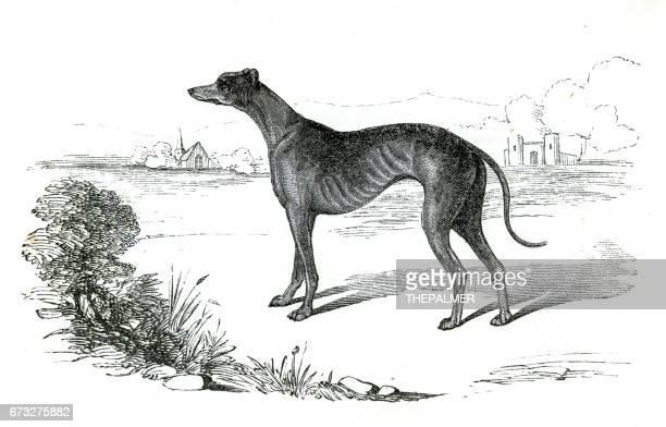 ilustraciones, imágenes clip art, dibujos animados e iconos de stock de perro galgo grabado 1851 - galgo