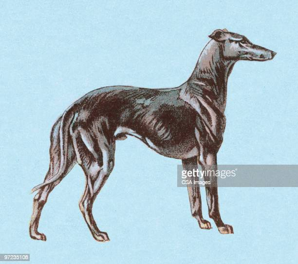 greyhound - best in show stock illustrations