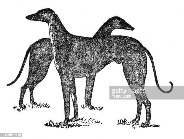 ilustraciones, imágenes clip art, dibujos animados e iconos de stock de perros galgos grabado de 1891 - galgo
