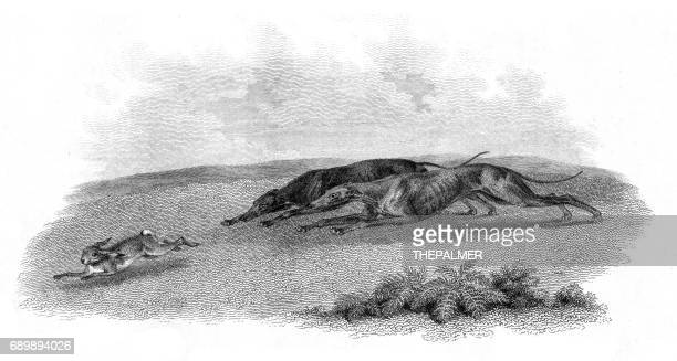 greyhounds hunting hare engraving 1812 - hound stock illustrations