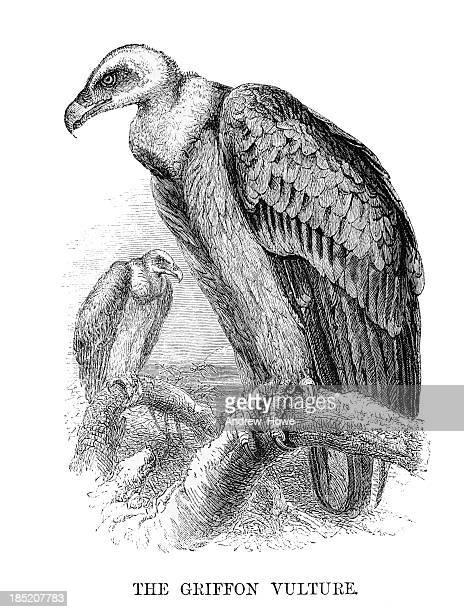 Gyps Fulvus ilustração