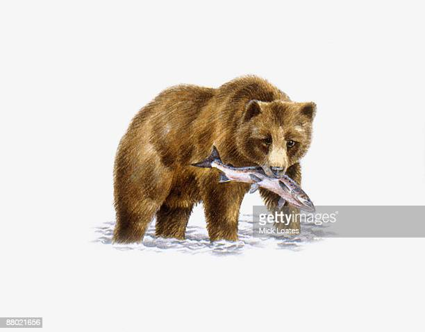 grizzly bear (ursus arctos horribilis), walking in water carrying fish in mouth  - stealth点のイラスト素材/クリップアート素材/マンガ素材/アイコン素材