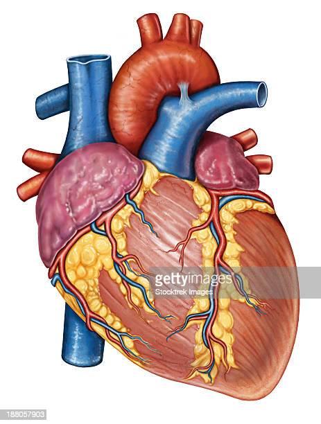 gross anatomy of the human heart. - myocardium stock illustrations, clip art, cartoons, & icons