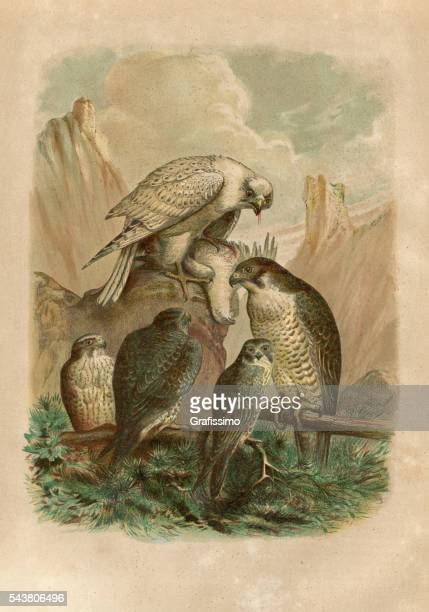 group of falcons engraving 1880 - peregrine falcon stock illustrations, clip art, cartoons, & icons