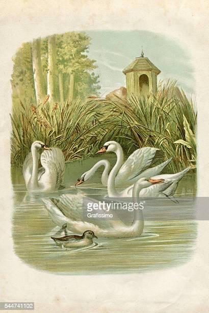 group of swans on lake illustration 1881 - swan stock illustrations