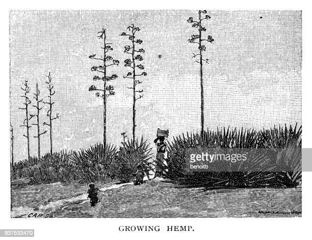 growing hemp - history stock illustrations