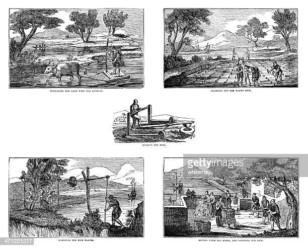 Growing rice - series of 1833 illustrations