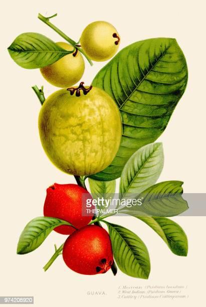ilustrações de stock, clip art, desenhos animados e ícones de guava fruit illustration 1891 - litografia