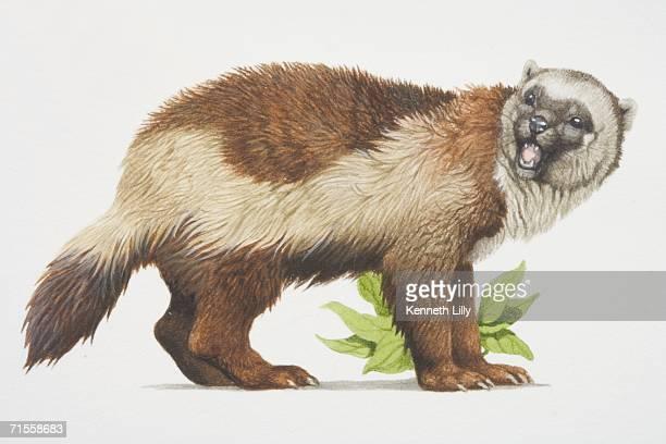 ilustrações, clipart, desenhos animados e ícones de gulo gulo, wolverine, side view. - organismo aquático