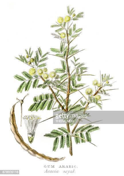 アラビアゴム植物 1857 の彫刻 - アカシア点のイラスト素材/クリップアート素材/マンガ素材/アイコン素材
