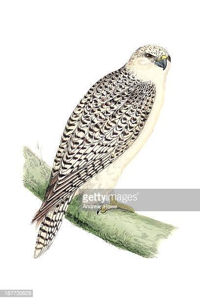 ilustrações de stock, clip art, desenhos animados e ícones de gyr falcão-mão colorida gravação - falcon bird