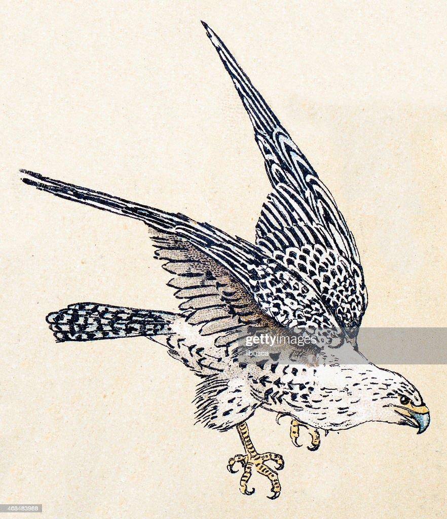 Gyrfalcon, birds animals antique ilustration : stock illustration