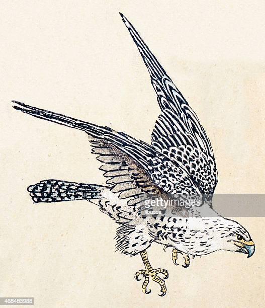 gyrfalcon, birds animals antique ilustration - falcon bird stock illustrations, clip art, cartoons, & icons