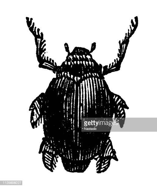 gyrinus -whirligig beetles (family gyrinida) - aggregation stage stock illustrations