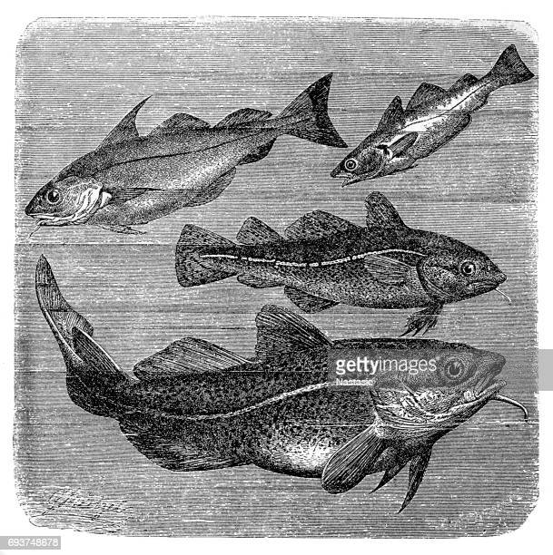 Haddock, Whiting and Codfishes