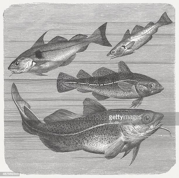 Haddock, Whiting and Codfishes, wood engraving, published in 1884