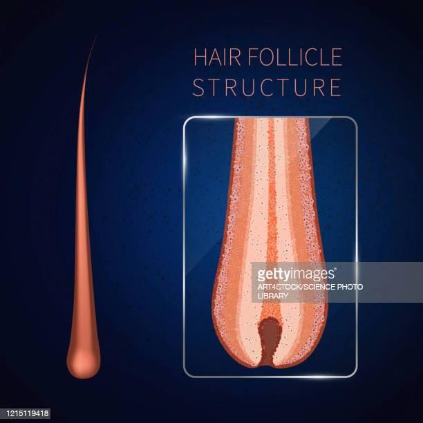 hair follicle, illustration - collagen stock illustrations