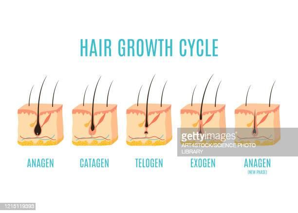 hair growth phases, illustration - dermis stock illustrations