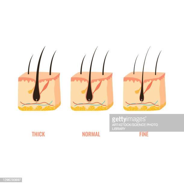 hair thickness types, illustration - collagen stock illustrations