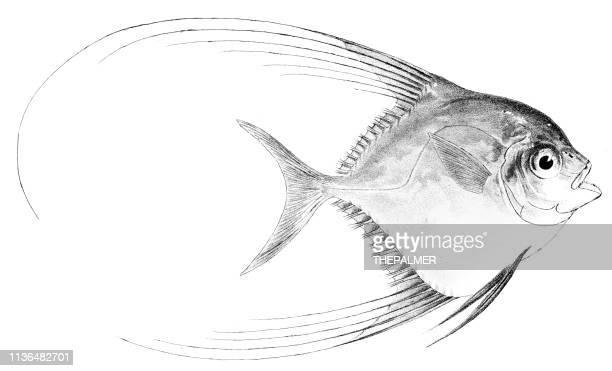 Hair-finned Blepharis fish engraving 1842