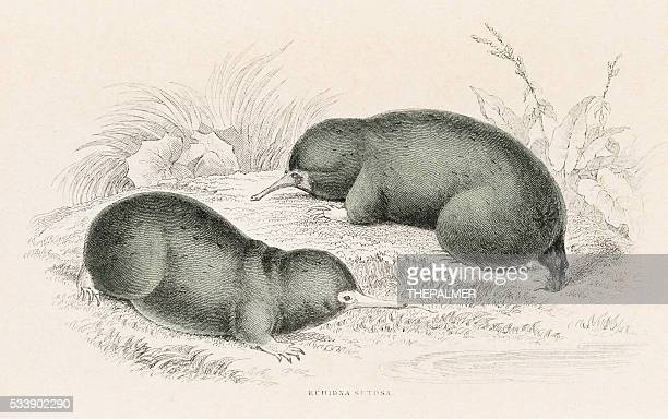 hairy echidna engraving 1855 - echidna stock illustrations