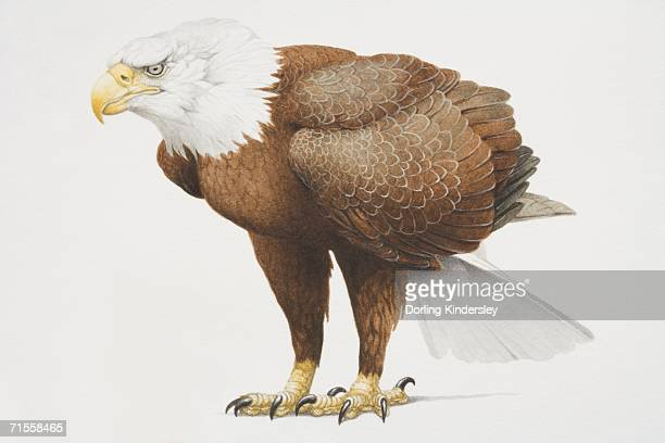 haliaeetus leucocephalus, side view of bald head eagle with white head and brown body. - talon stock illustrations