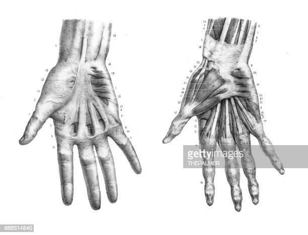 ilustrações, clipart, desenhos animados e ícones de hand anatomy engraving 1866 - membro parte do corpo