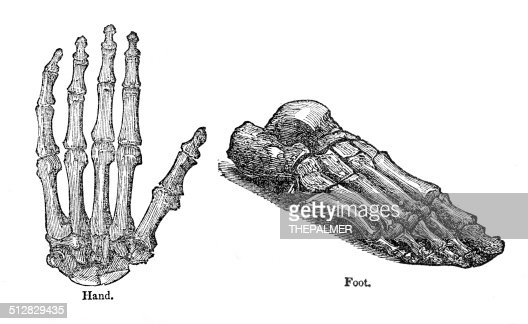 Hand And Foot Anatomy Drawing High Res Vector Graphic Getty Images