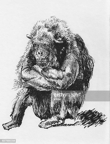 hand drawn orangutan sketch on white background