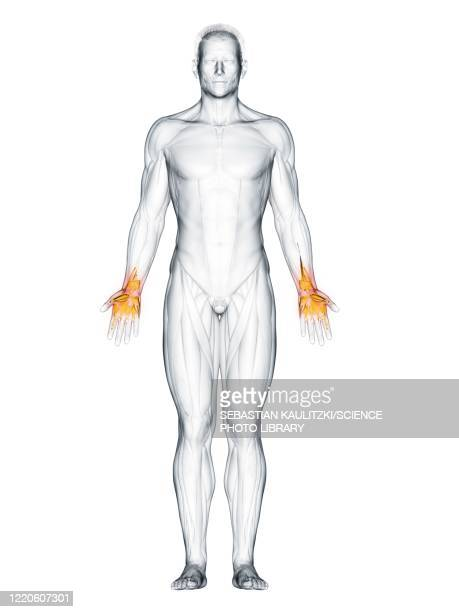 hand muscles, illustration - order stock illustrations