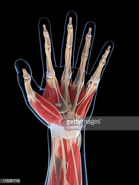 Hand musculature, artwork