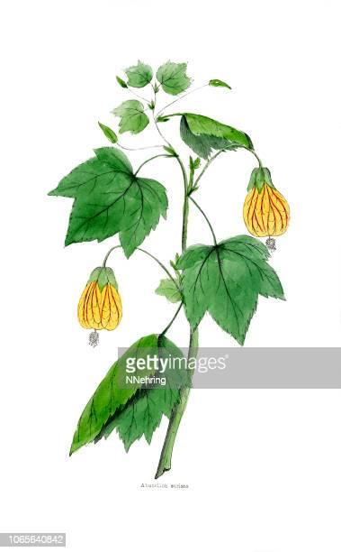 illustrations, cliparts, dessins animés et icônes de illustration de redvein abutilon, abutilon pictum de peintes à la main - plante tropicale