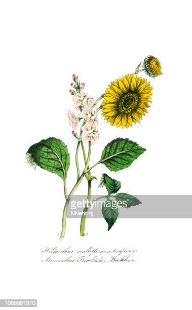 ilustrações de stock, clip art, desenhos animados e ícones de hand painted illustration of sunflower, helianthus multiflorus, and buckbean, menyanthus trivoliata - girassol
