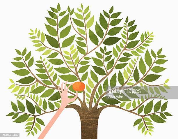 hand picking orange from tree against white background - かんきつ類点のイラスト素材/クリップアート素材/マンガ素材/アイコン素材